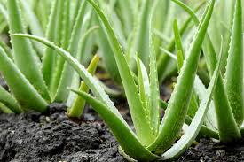 Aloe vera: il rimedio naturale contro la calvizie
